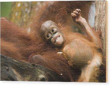 Orangutan Pongo Pygmaeus.  Juvenile Wood Print by Tim Laman