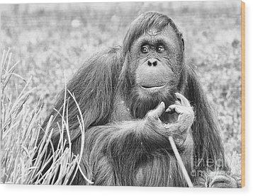 Orangutan Wood Print by Scott Hansen