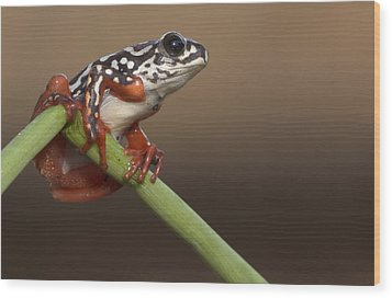 Painted Reed Frog Botswana Wood Print by Piotr Naskrecki