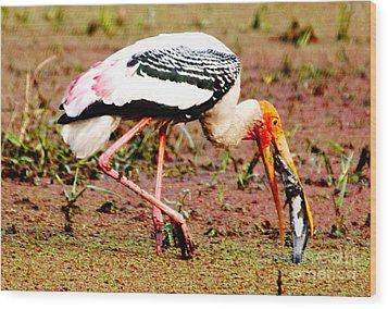 Painted Stork Feeding Wood Print by Pravine Chester