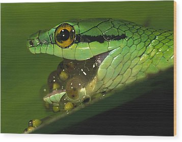 Parrot Snake Eating Tree Frog Eggs Wood Print by Christian Ziegler