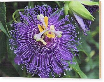 Passionflower Purple Wood Print by Rosalie Scanlon