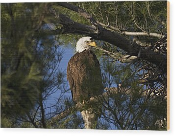 Picture Perfect Bald Eagle Wood Print by Joe Gee