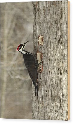 Pileated Woodpecker Excavating A Cedar Tree Wood Print by Inspired Nature Photography Fine Art Photography