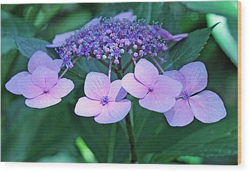 Pink Lacecap Hydrangea Wood Print by Becky Lodes