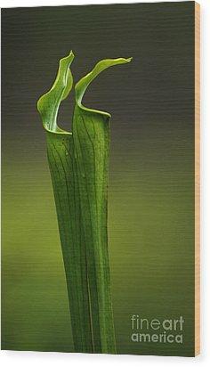 Pitcher Plants 2 Wood Print by Bob Christopher