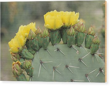 Plains Prickly Pear Blossoms Wood Print by Rich Reid