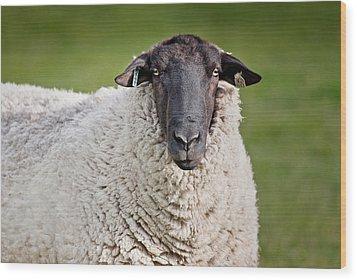 Portrait Of A Sheep Wood Print by Greg Nyquist