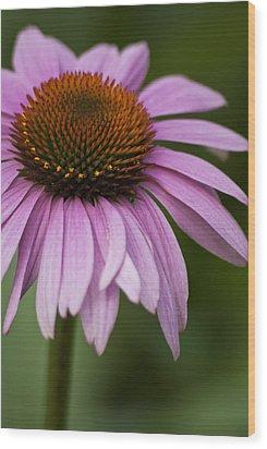 Purple Coneflower Wood Print by Jason Pryor