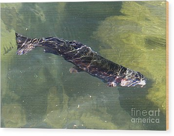 Rainbow Trout Swimming Wood Print by Kenny Bosak
