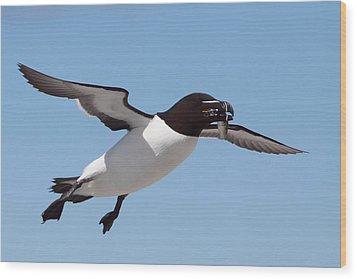 Razorbill In Flight Wood Print by Bruce J Robinson