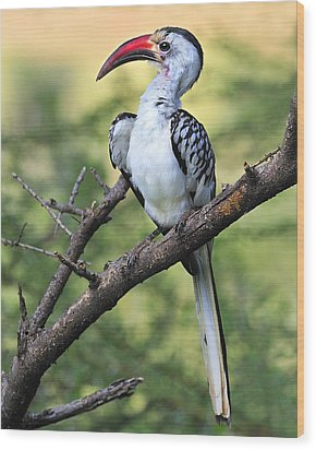 Red-billed Hornbill Wood Print by Tony Beck