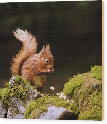 Red Squirrel Eating Nuts Wood Print by BlackCatPhotos