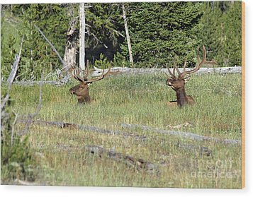Relaxed Elk Wood Print by Shawn Naranjo