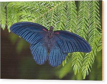 Scarlet Swallowtail Wood Print by Joann Vitali