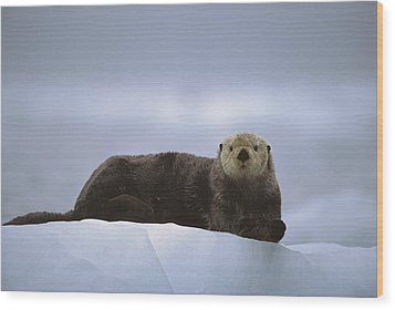 Sea Otter Enhydra Lutris Male Hauled Wood Print by Suzi Eszterhas
