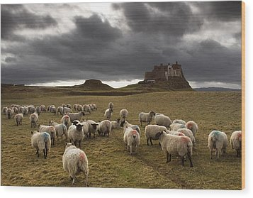 Sheep Grazing By Lindisfarne Castle Wood Print by John Short