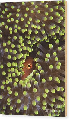 Skunk Clownfish Hiding In Anemone Wood Print by Beverly Factor