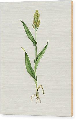 Sorghum (sorghum Bicolor), Artwork Wood Print by Lizzie Harper