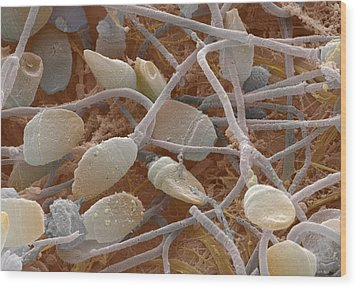 Sperm, Sem Wood Print by Power And Syred
