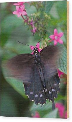 Spicebush Swallowtail Wood Print by Joann Vitali