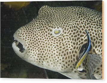 Star Puffer Fish Being Cleaned Wood Print by Tim Laman