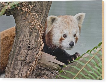 Stealthy Red Panda Wood Print by Greg Nyquist
