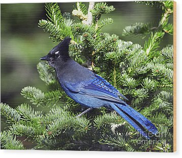 Stellers Jay Wood Print by Sharon Talson