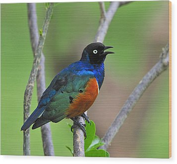 Superb Starling Wood Print by Tony Beck