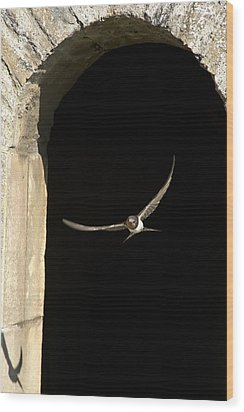 Swallow In Flight Wood Print by John Short