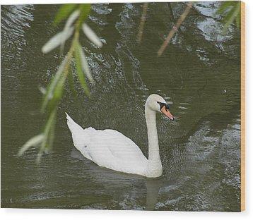 Swan Enjoying A Swim Wood Print by Corinne Elizabeth Cowherd
