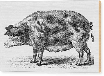 Swine Wood Print by Granger