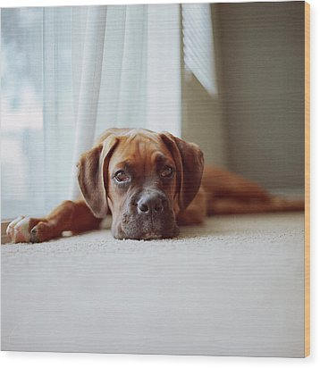 Tan Boxer Puppy Laying On Carpet Near Window Wood Print by Diyosa Carter