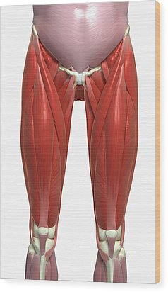 The Muscles Of The Lower Limb Wood Print by MedicalRF.com