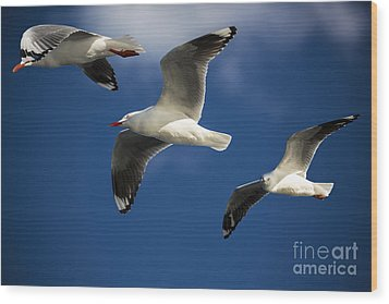 Three Silver Gulls Wood Print by Avalon Fine Art Photography