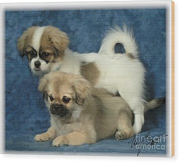 Tibetan Spaniel Pups 2  Wood Print by Maxine Bochnia