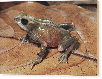 Toad Atelopus Senex On A Leaf Wood Print by Michael & Patricia Fogden