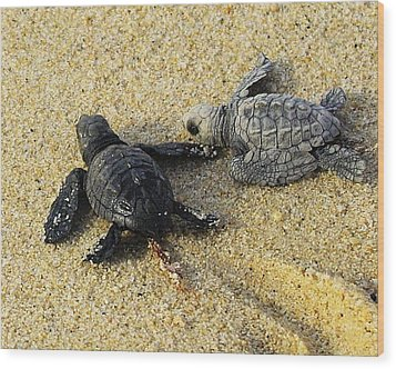Tommy And Timmy Turtle Wood Print by John  Greaves