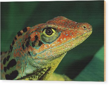 Transverse Anole Anolis Transversalis Wood Print by Murray Cooper