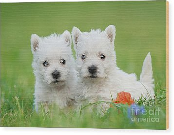 Two West Highland White Terrier Puppies Portrait Wood Print by Waldek Dabrowski
