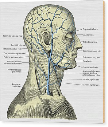 Veins Of The Head And Neck Wood Print by Science Source
