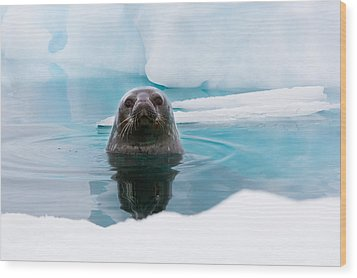 Weddell Seal Looking Up Out Of The Water, Antarctica Wood Print by Mint Images/ Art Wolfe
