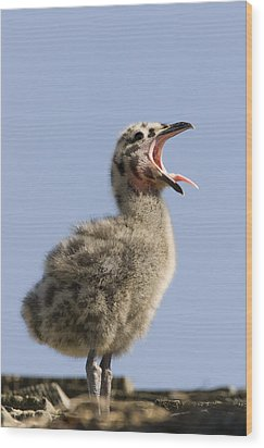 Western Gull Chick Begging For Food Wood Print by Sebastian Kennerknecht