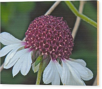 White Coneflower Wood Print by Eve Spring