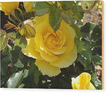 Yellow Rose Of California Wood Print by James Hammen