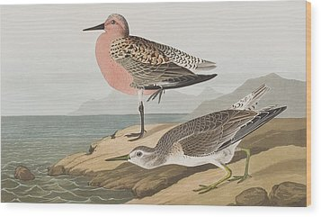 Red-breasted Sandpiper  Wood Print by John James Audubon