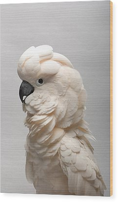 A Salmon-crested Cockatoo Wood Print by Joel Sartore