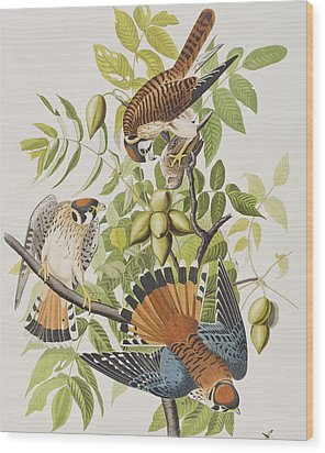 American Sparrow Hawk Wood Print by John James Audubon