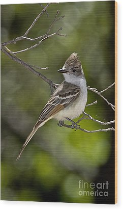 Ash-throated Flycatcher Wood Print by Anthony Mercieca