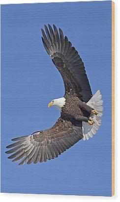 Bald Eagle In Flight Wood Print by Tim Grams